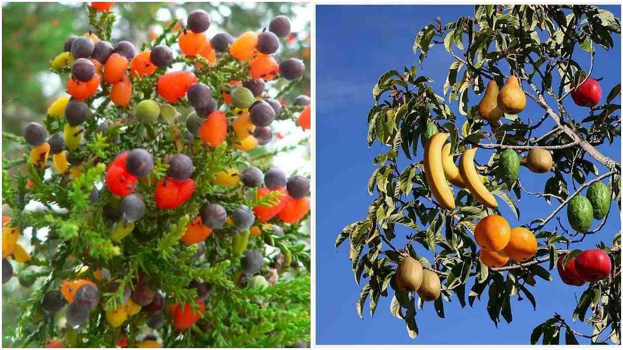 इस अनोखे पेड़ पर लगते हैं 40 तरह के फल, एक डाल की कीमत में मिल जाएगा ढेर सारा सोना