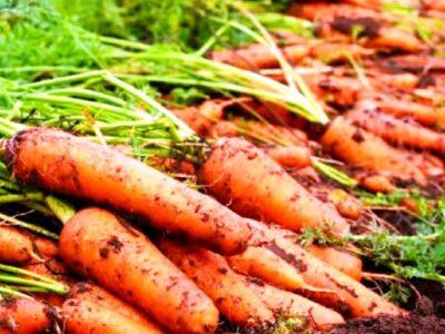 गाजर की खेती से हो सकती है लाखों की कमाई, जानिए इसके बारे में सबकुछ