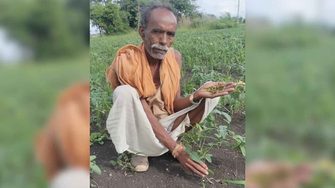 मध्य प्रदेश के किसान परेशान: भारी बारिश से खरीफ की फसल बर्बाद, बची हुई को खा रहीं इल्लियां