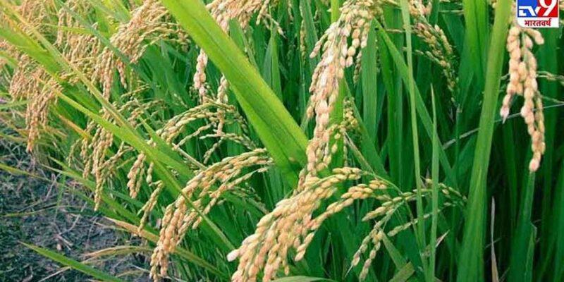 किसानों के लिए आई अच्छी खुशखबरी! यहां के चावलों को मिला GI Tag, जानिए क्या और कैसे होगा फायदा