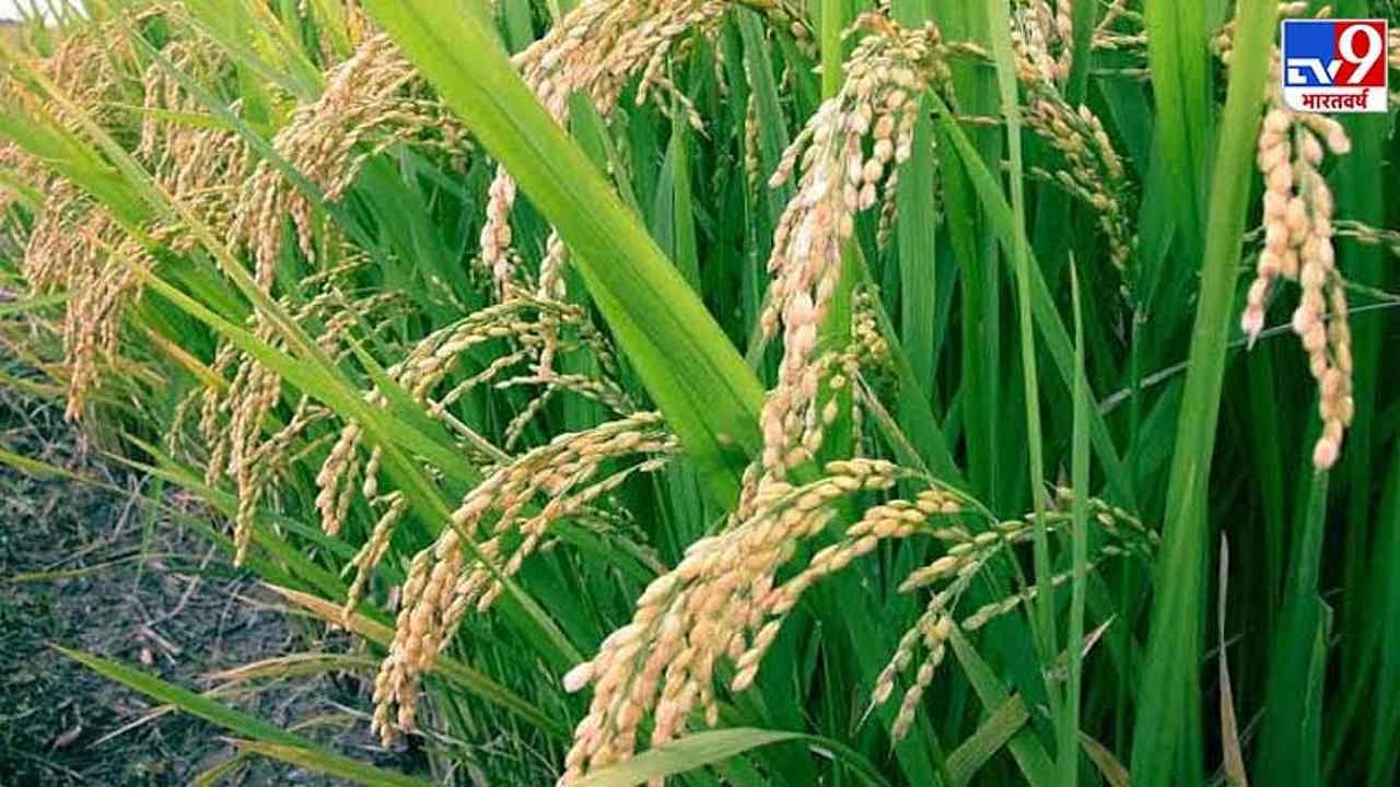 किसानों के लिए खुशखबरी-चावल कीमतों में हुई बढ़ोतरी, जानिए क्यों और कितने बढ़े दाम