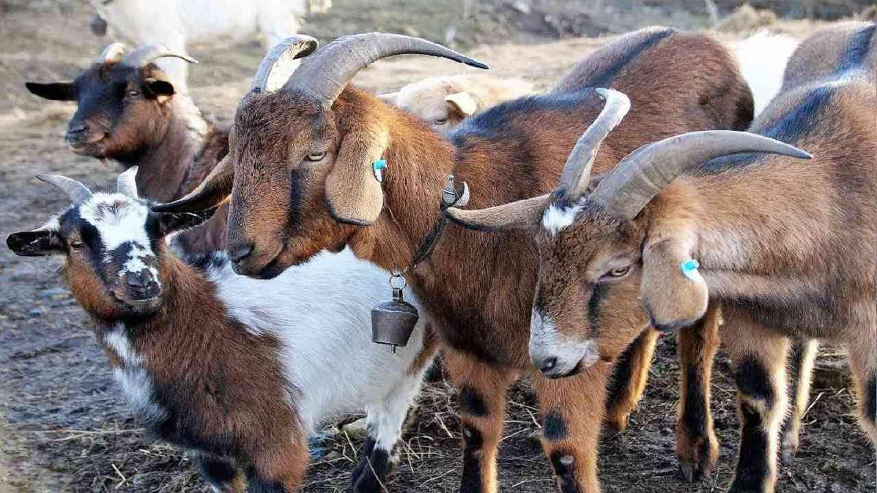 बारिश के मौसम में बकरियों का कैसे करें रख-रखाव, जानें क्या कहते हैं वैज्ञानिक