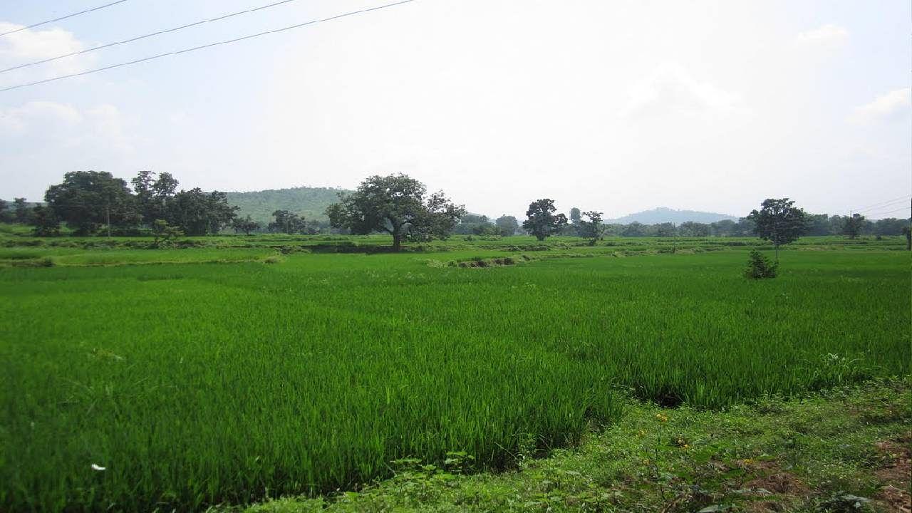 झारखंड के धनबाद जिले में समय से पहले धान में आ गयी बाली, किसान परेशान, जानें क्या कहते हैं वैज्ञानिक