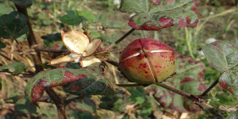 पंजाब में खेती-किसानी पर कीटों का हमला, कपास की खड़ी फसल की जुताई कर रहे किसान