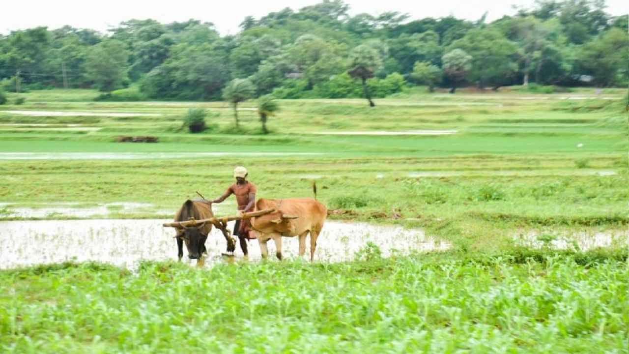 मेडिसिनल प्लांट फार्मिंग किसानों के लिए बनी वरदान, कॉन्ट्रैक्ट पर खेती कर लाखों में हो रही कमाई