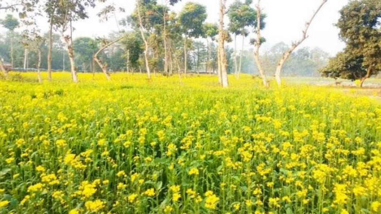 400 रुपए प्रति क्विंटल बढ़ी है सरसों की MSP, इस तिलहन की अगेती खेती कर कमा सकते हैं अधिक मुनाफा