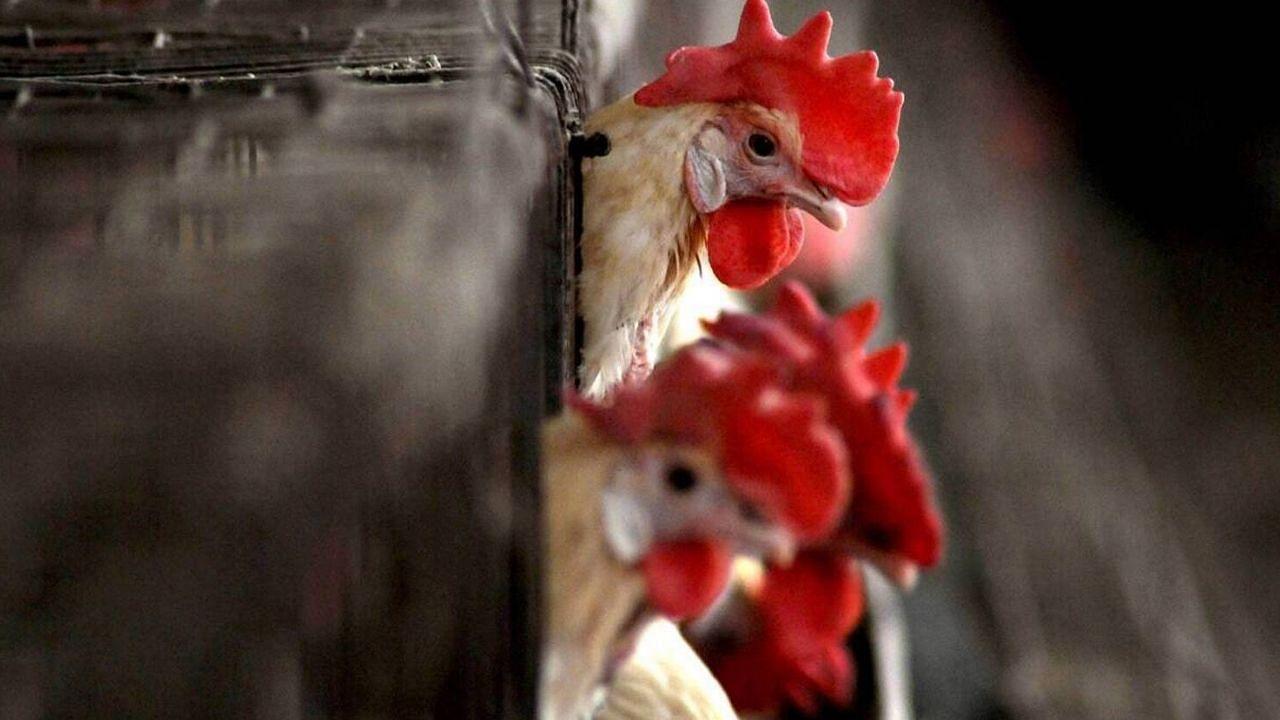 OMG! यहां बच्चों को मुर्गे के खून का इंजेक्शन लगवा रहे हैं मां-बाप, जानिए क्यों कर रहे हैं ऐसा