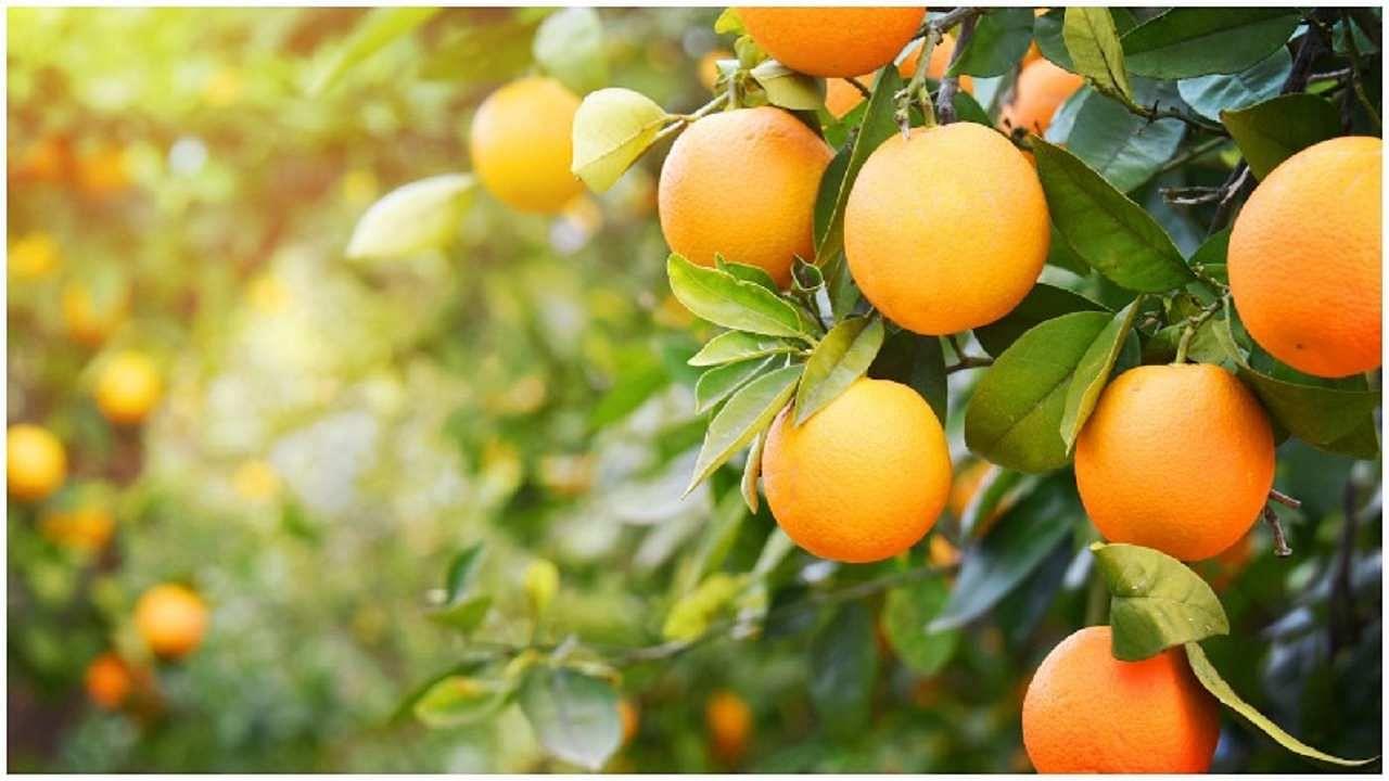 Orange Farming: कब और कैसे करें महाराष्ट्र के विश्व प्रसिद्ध नागपुरी संतरे की खेती? जानिए इससे जुड़ी सभी जरूरी बातें