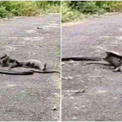 किंग कोबरा और मॉनिटर लिजर्ड के बीच हुई जबरदस्त फाइट, वीडियो में देखें किसे मिली जीत किसकी हवा हुई टाइट