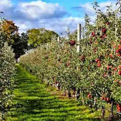 बीते कुछ मौसम के मुकाबले इस बार ज्यादा उत्पादन का अनुमान, लेकिन फिर भी खुश नहीं हैं हिमाचल के सेब किसान
