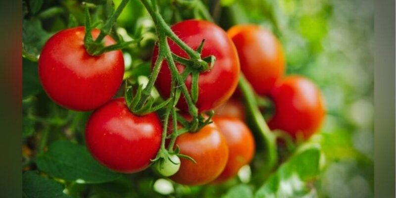 टमाटर की खेती: इस किस्म के एक पौधे से मिलेगा 18 किलो उत्पादन, कीट और रोग की चिंता नहीं