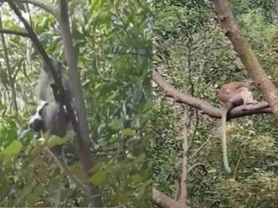 जंगली बंदर ने किया एक पालतू पपी को किडनैप, 3 दिनों तक रखा अपने साथ- वीडियो