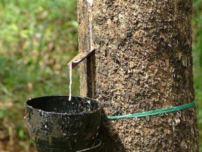 केरल में सामान्य से 117 फीसदी ज्यादा बारिश, रबर उत्पादन प्रभावित, घरेलू उत्पादन के लिए करना पड़ सकता है आयात
