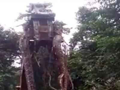 जंगल में मिला 13 फुट लंबा सांप, उठाने के लिए मंगवाना पड़ा बुलडोजर- पढ़ें पूरी रिपोर्ट