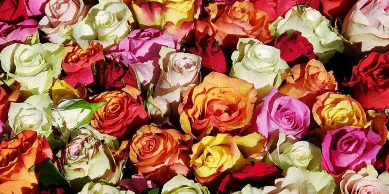 कई लाख गुलाब के फूलों से निकल पाता है थोड़ा सा तेल, फिर ये क्या काम आता है?