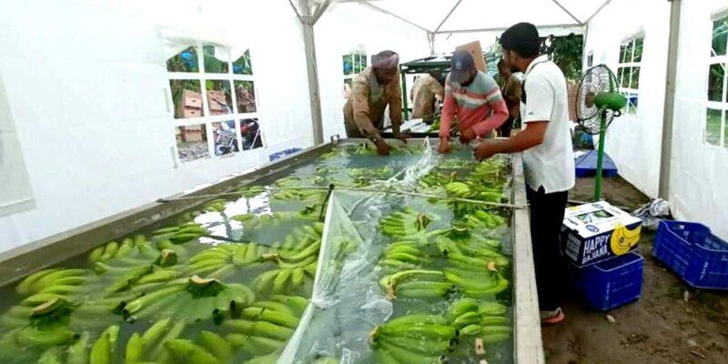 उत्तर प्रदेश से पहली बार ईरान निर्यात किया गया केला, लखीमपुर के किसानों को मिला फायदा