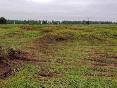 बेमौसम बारिश से किसानों के अरमानों पर फिरा पानी, धान की फसल खेतों में बिछी, सब्जियां हुईं बर्बाद