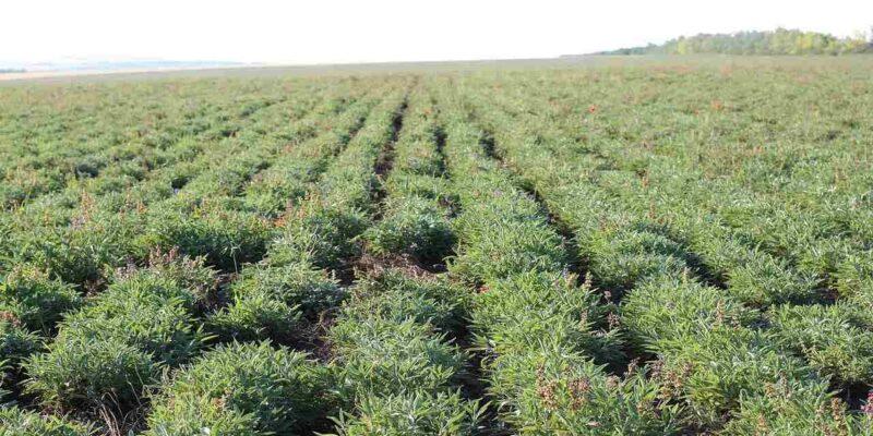 अजवाइन की खेती से किसान हो सकते हैं मालामल, अच्छी किस्म और बोने की सही विधि जानिए