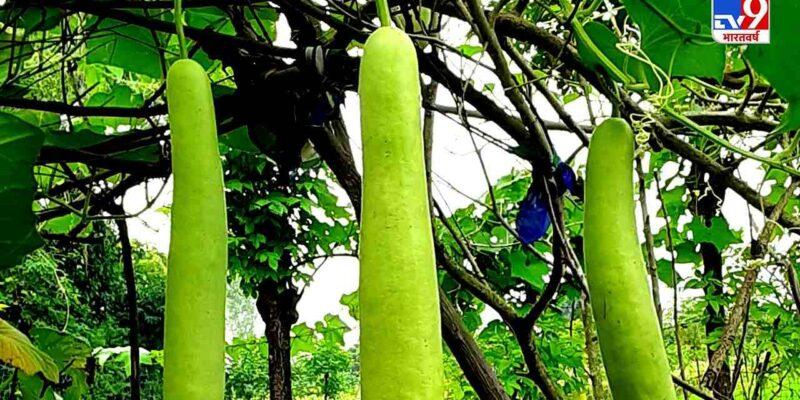 लौकी की खेती करके भी अच्छी कमाई कर सकते हैं किसान, महाराष्ट्र में कितना है इसका क्षेत्र?