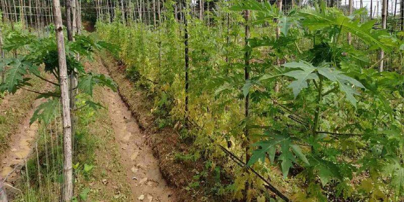 झारखंड में हो रही फाइव लेयर जैविक खेती, किसानों को होगा जबरदस्त फायदा