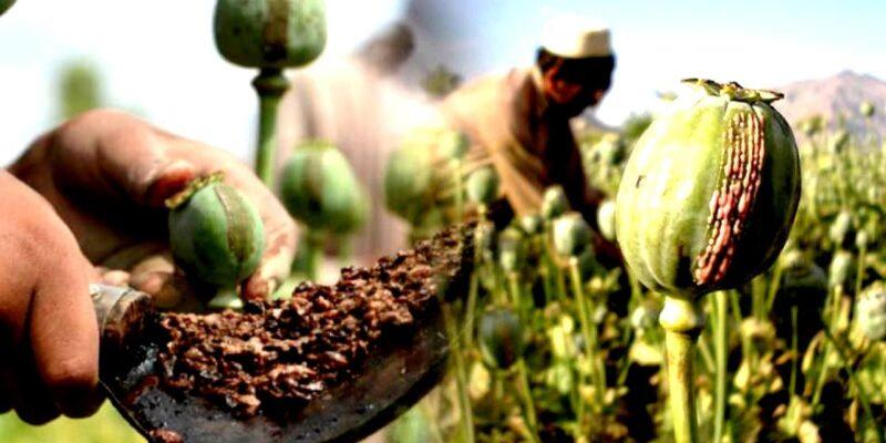 अफीम की खेती के लिए सरकार ने जारी किया शर्तों का नोटिफिकेशन