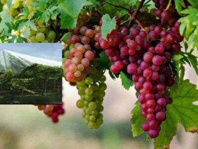 Grapes Farming: कब और कैसे करें महाराष्ट्र के विश्व प्रसिद्ध अंगूर की खेती? जानिए इससे जुड़ी सभी जरूरी बातें