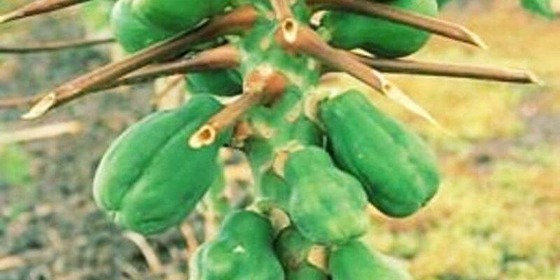पपीता की खेती करने वाले किसानों के लिए जरूरी खबर...इस मौसम में ये गलती सालभर पड़ेगी भारी