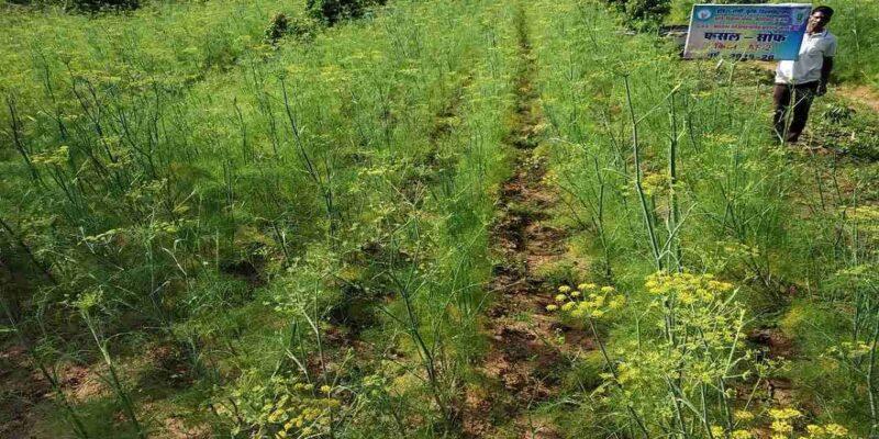 उन्नत किस्मों से लेकर बुवाई और सिंचाई तक, अक्टूबर में होने वाली सौंफ की खेती के बारे में सब कुछ जानिए