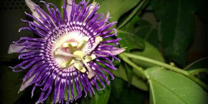 दुनिया के सबसे खूबसूरत फूलों में गिना जाता है कृष्ण कमल, क्या आप जानते है इसे लगाने का सही तरीका