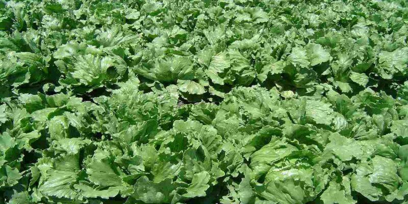 Lettuce Leaf Farming: कब और कैसे करें पत्तेदार सलाद की उन्नत खेती, जानिए इससे जुड़ी सभी जरूरी बातें