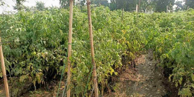 मध्य प्रदेश: अतिवृष्टि व रोग के प्रकोप से टमाटर के उत्पादन में भारी कमी, लागत भी हुई दोगुनी, अब आसमान पर पहुंचे दाम