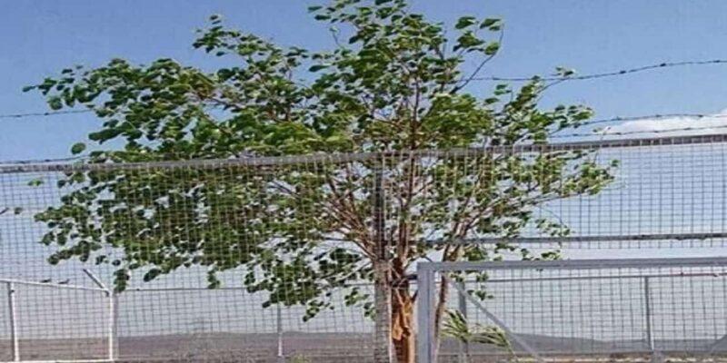 Madhya Pradesh: रायसेन में देश का VVIP पेड़, 24 घंटे तैनात रहते है सुरक्षा गार्ड; रख रखाव में खर्च होते हैं हर महीने लाखों रुपए