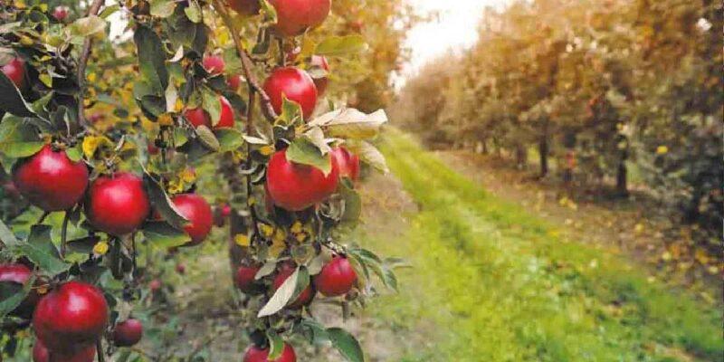 प्राकृतिक सेब की खेती: गाय के गोबर और मूत्र से बनी खाद से खेती कर किसान कमा रहे हैं लाखों रुपये, जानिए सबकुछ
