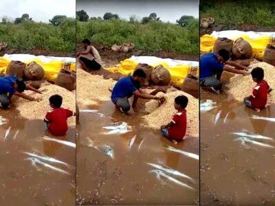 बारिश से भीग गई सोयाबीन की तैयार फसल, बर्बादी देख फूट-फूटकर रोने लगा किसान