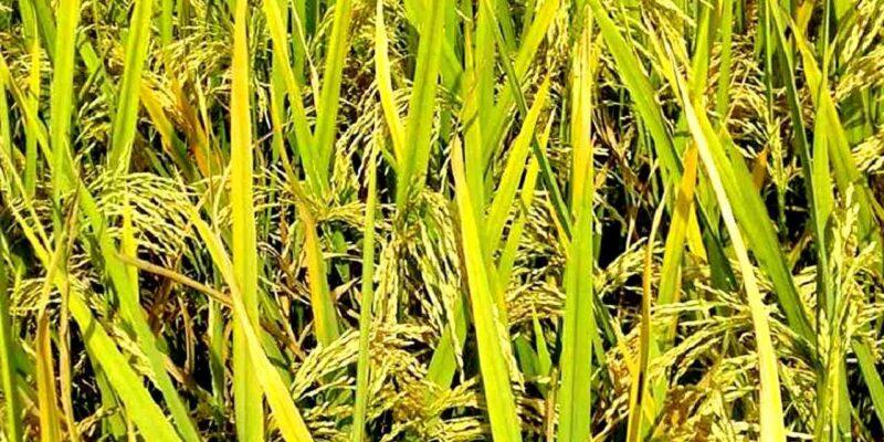 धान की कटाई से दो सप्ताह पहले बंद कर दें सिंचाई, कृषि वैज्ञानिकों ने दी सलाह