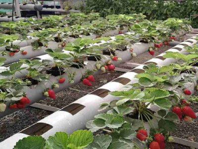 हाइड्रोपोनिक तकनीक से करे स्ट्रॉबेरी की खेती, होगी जबरदस्त पैदावार