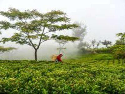 अमेरिकी प्रतिबंधों के कारण 2021 के पहले सात महीनों में चाय का निर्यात 14% घटा