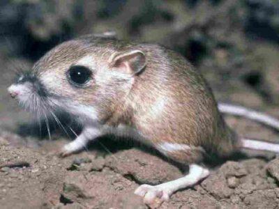 ये है दुनिया का अनोखा चूहा, जो बिना पानी पिए भी रह सकता है जिंदा