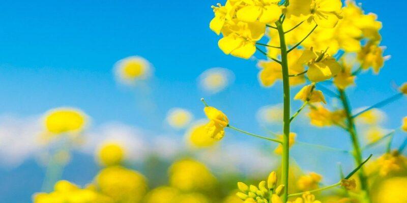 सरसों की खेती से इस बार किसानों को मिलेगा बंपर कमाई का मौका! जानिए इससे जुड़ी सभी जरूरी बातें