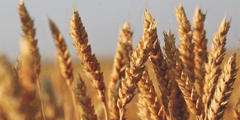 किसानों के बीच गेहूं की इस किस्म की मांग है सबसे ज्यादा, जानिए क्या है इसमें इतना खास