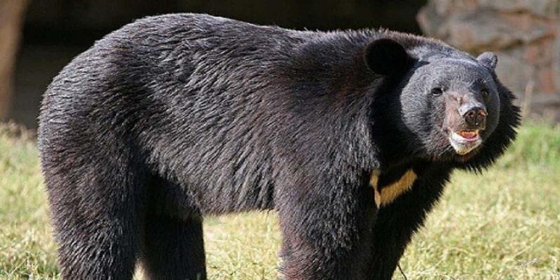 Uttarakhand: जोशीमठ में भालू पकड़ने गई वन विभाग की टीम की जान पर बन आई आफत,  जानिए कैसे बचाई जान; देखें Video