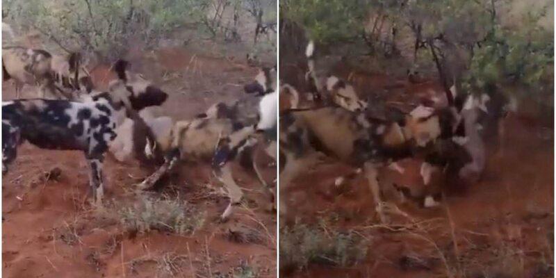 अकेले हिरण को जंगली कुत्तों ने बनाया अपना शिकार, वीडियो में देखें अंत में किसके हाथ लगी जीत