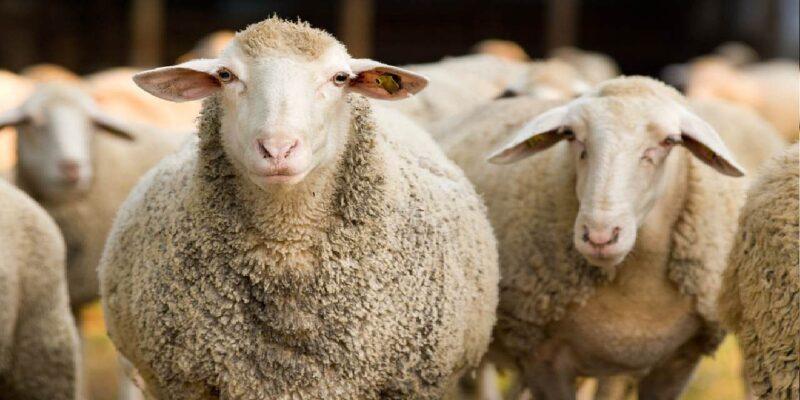 भेड़पालन के जरिये कम लागत में कर सकते हैं बेहतर कमाई, लोन पर भी मिलेगी छूट, जानें कैसे